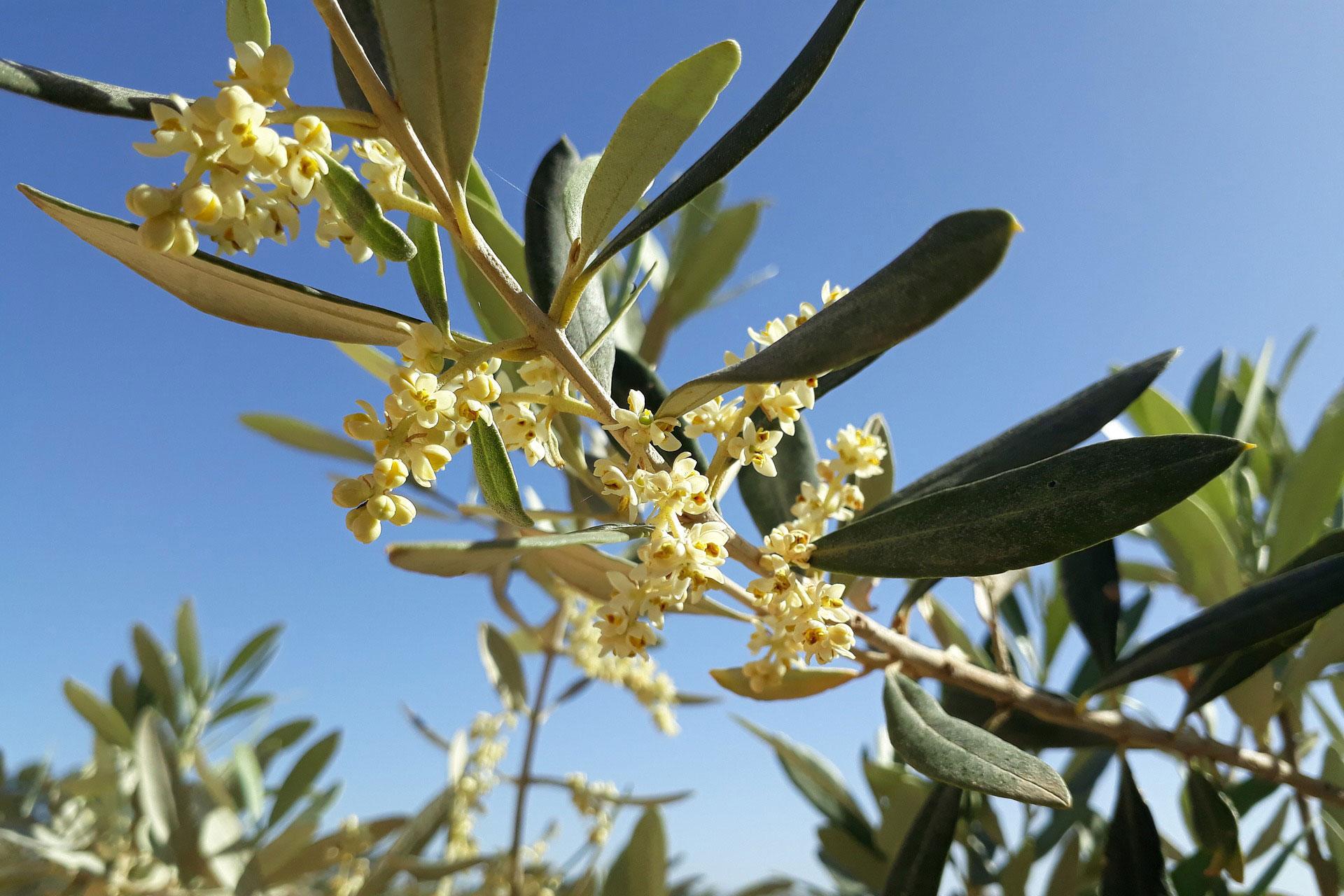 Zeytin Ağacı Hakkında 7 Gerçek
